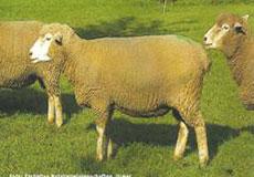 fcd5a2eec ... biele, bezrohé, ranné, švajčiarske plemeno s trojstrannou úžitkovosťou.  Vyšľachtené v kantone Luzern a oblasti Tavetecher z miestnych oviec, ...
