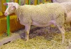 3347fc58b LACAUNE: Ovce plemena lacaune boli vyšľachtené vo Francúzsku na báze oviec  merinského typu, odkiaľ boli importované v roku 1993 a 1994 aj na Slovensko.
