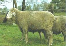 f1076f6e0 MERINOLANDSCHAF: Plemeno bolo vyšľachtené v Nemecku krížením miestnych  jemnovlnných oviec s plemenom zaupel, do roku 1950 bolo známe pod menom  württemberská ...